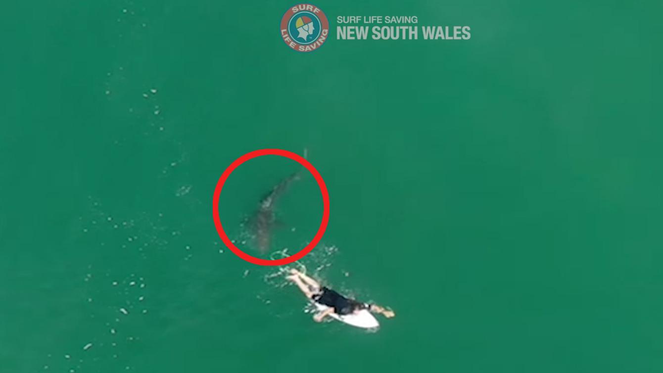 Une vue aérienne du requin nageant à portée de main d'un surfeur.