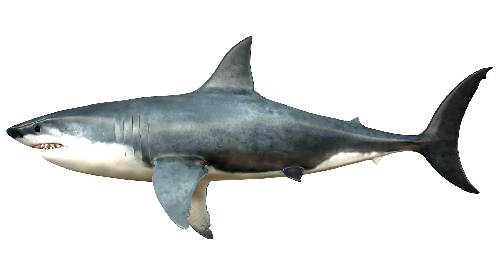 Le gigantisme était courant chez les requins lamniformes éteints - le groupe qui comprend le mégalodon - mais le mégalodon était de loin le plus grand.