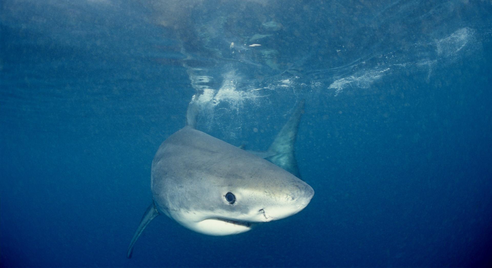 Un petit grand blanc nageant sous l'eau.
