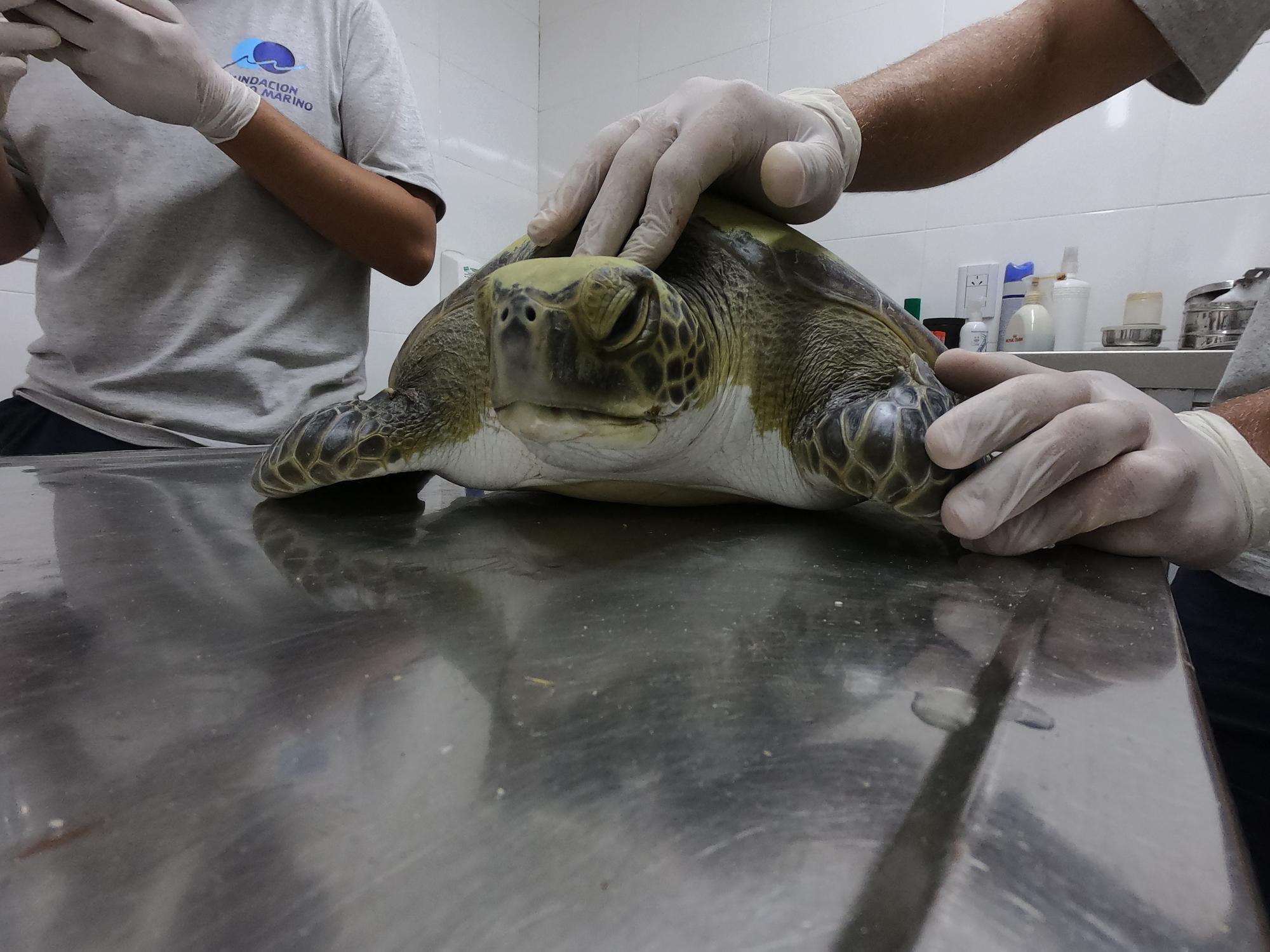 Après s'être emmêlée dans un filet de pêche, cette tortue verte a été amenée pour être réhabilitée.