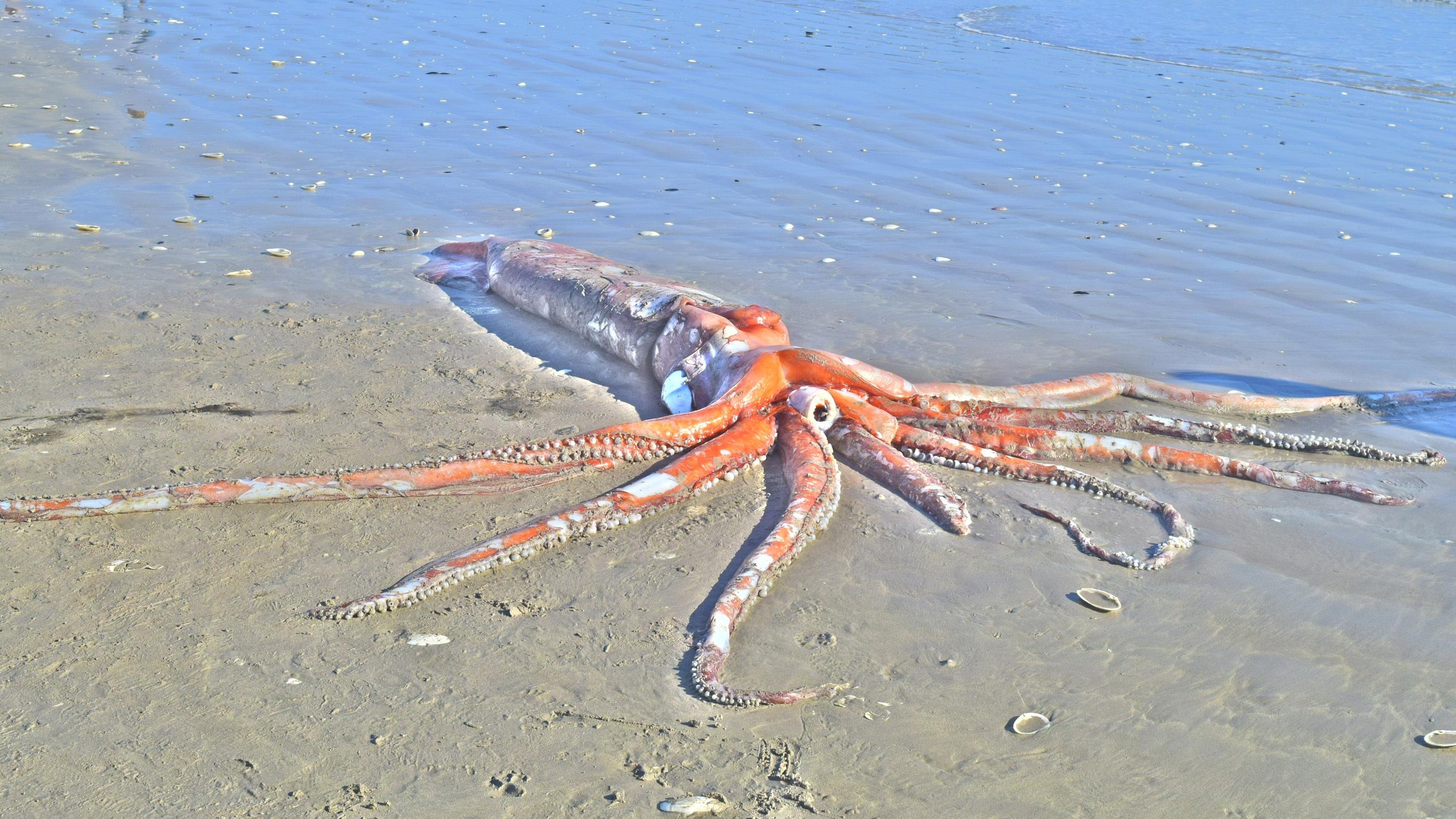 Adéle Grosse et son mari ont trouvé un calmar géant mort (Architeuthis dux) en marchant sur la plage Golden Mile à Britannia Bay, en Afrique du Sud.