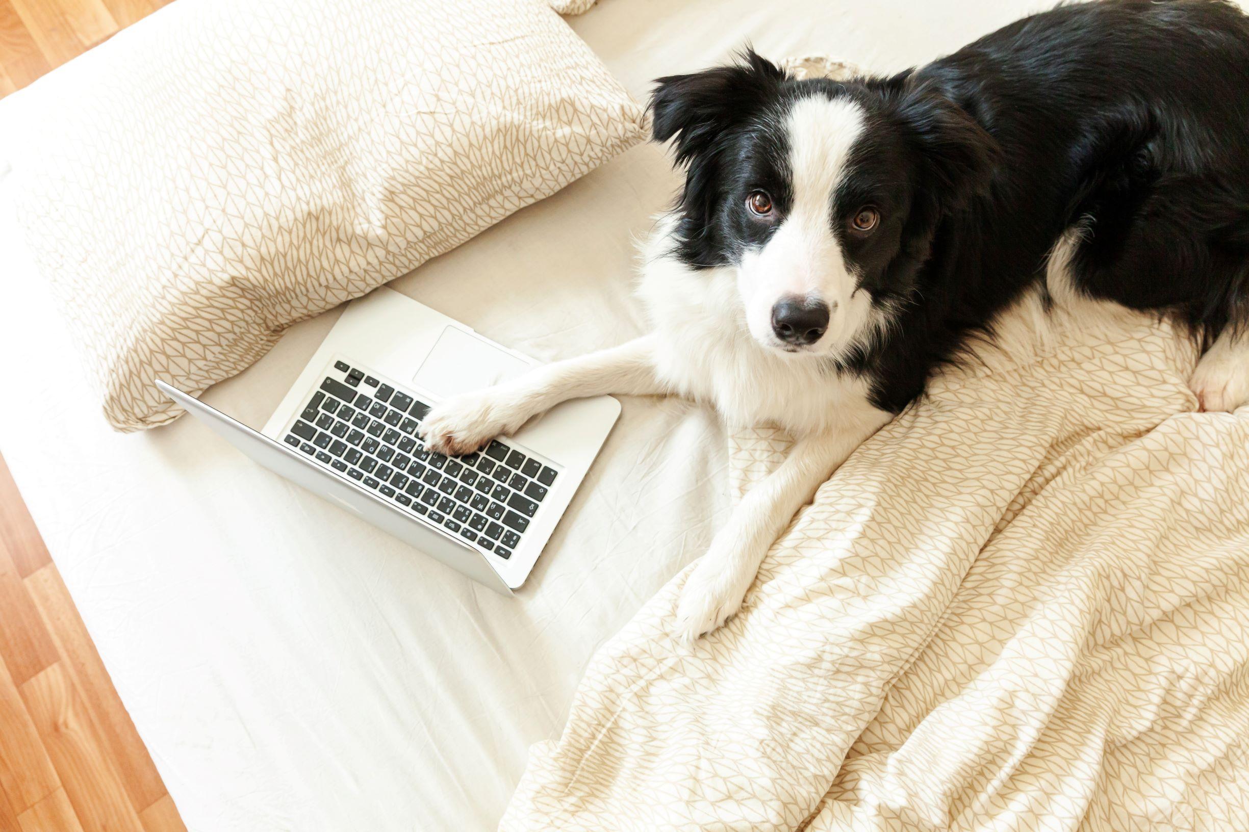 Chiot sur un lit avec un ordinateur portable