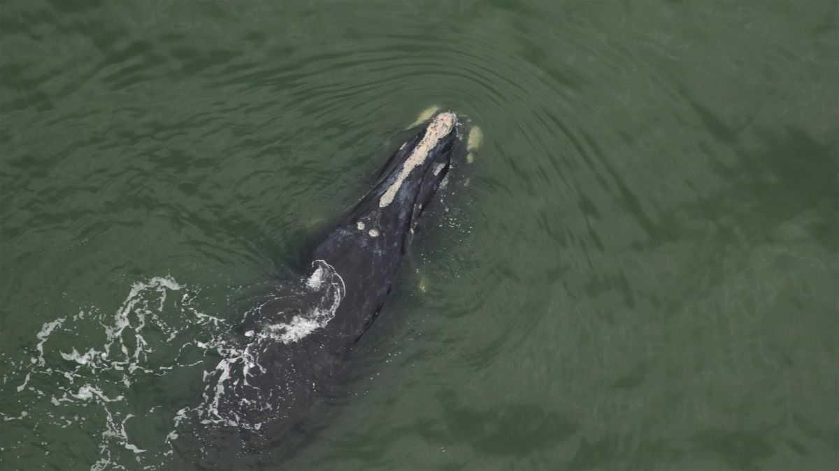 2 Veaux De L'une Des Grandes Baleines Les Plus Menacées