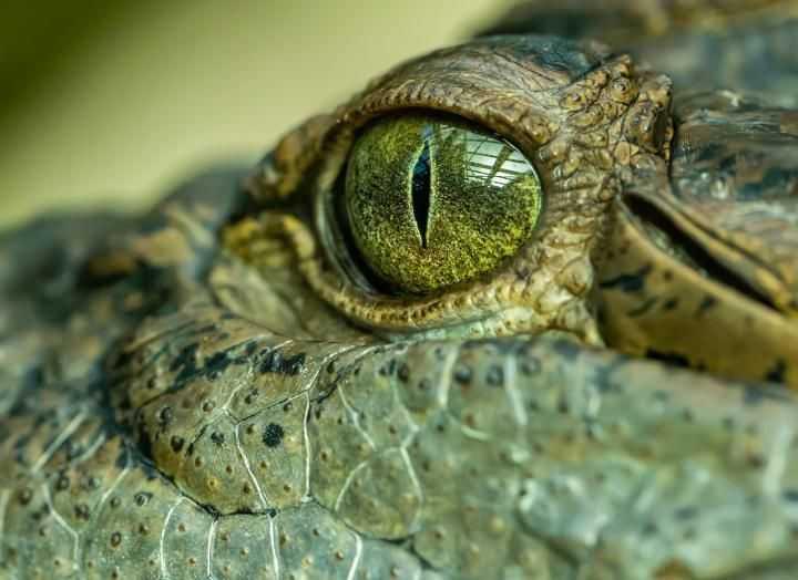 Australie: Un Ancien Crocodile Monstre `` Roi Des Marais ''
