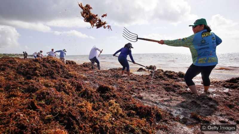 L'atlantique Transforme Une Mer D'algues Et Une Intrigue Scientifique