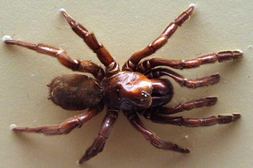 Numéro 16: l'araignée australienne qui a vécu près d'un demi-siècle et a été traîtreusement tuée par une guêpe