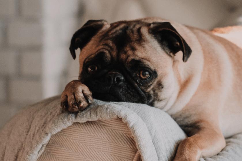 """Quand l'évolution devient la """"loi des plus beaux"""": les chiens ont conquis le monde à force de """"nous regarder"""""""