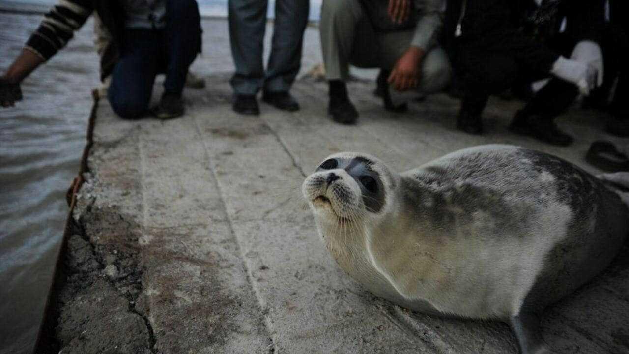 Une mystérieuse mort massive de phoques de la mer Caspienne en danger sur les côtes de Moscou sous enquête