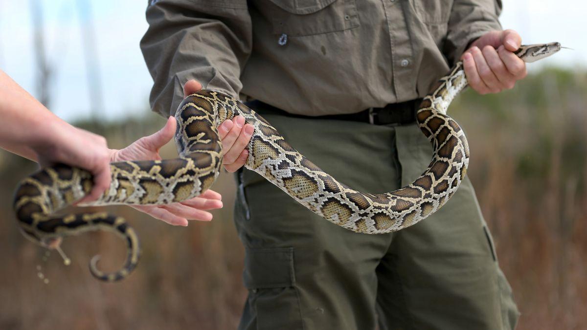 Voulez Vous Manger Un Python Pour Sauver Les Everglades?