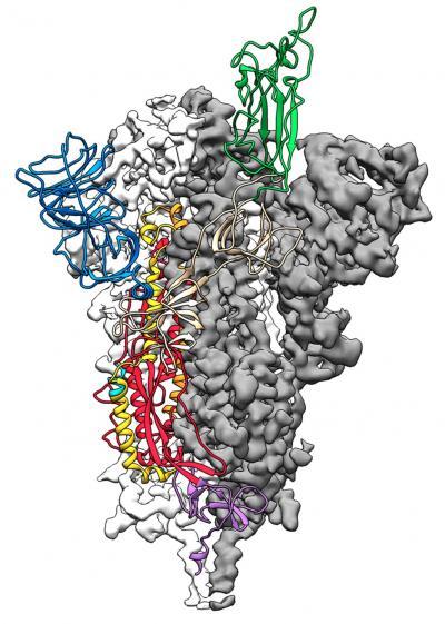 C'est la carte à l'échelle atomique 3D ou la structure moléculaire de la protéine SARS-2-CoV