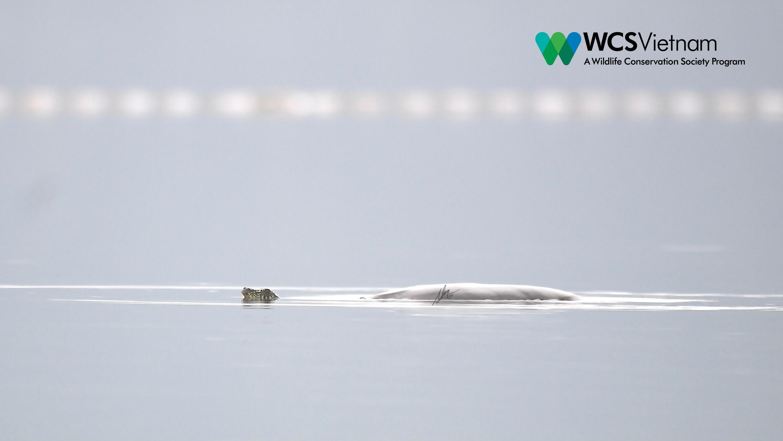 La deuxième tortue Rafetus swinhoei a été découverte dans le lac Dong Mo.