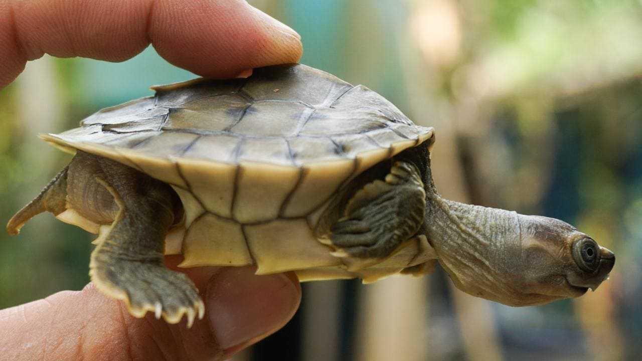 Une tortue à toit birmane nouvellement éclos.  Crédit d'image: Myo Min Win / Platt et al 2020