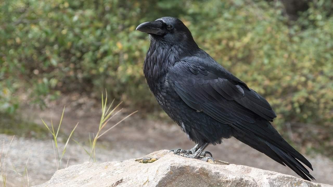 La grippe aviaire fait peur au Karnataka alors que six corbeaux meurent d'échantillons envoyés pour tests