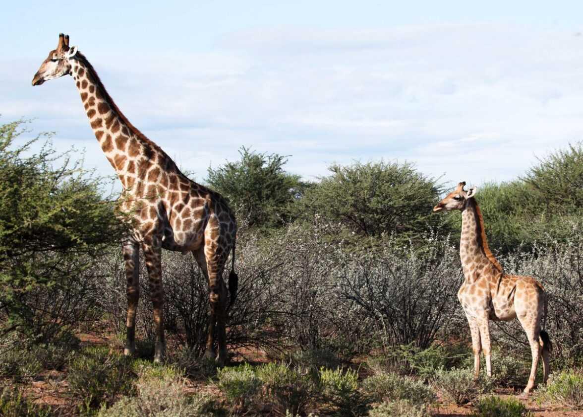 Adorables Girafes Naines Repérées Pour La Première Fois