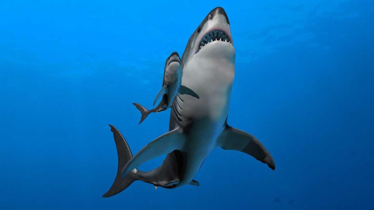 Les Mamans Du Requin Mégalodon Ont Eu Des Bébés à