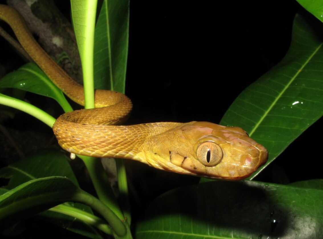 Un Nouveau Type De Locomotion étrange Découvert Chez Des Serpents