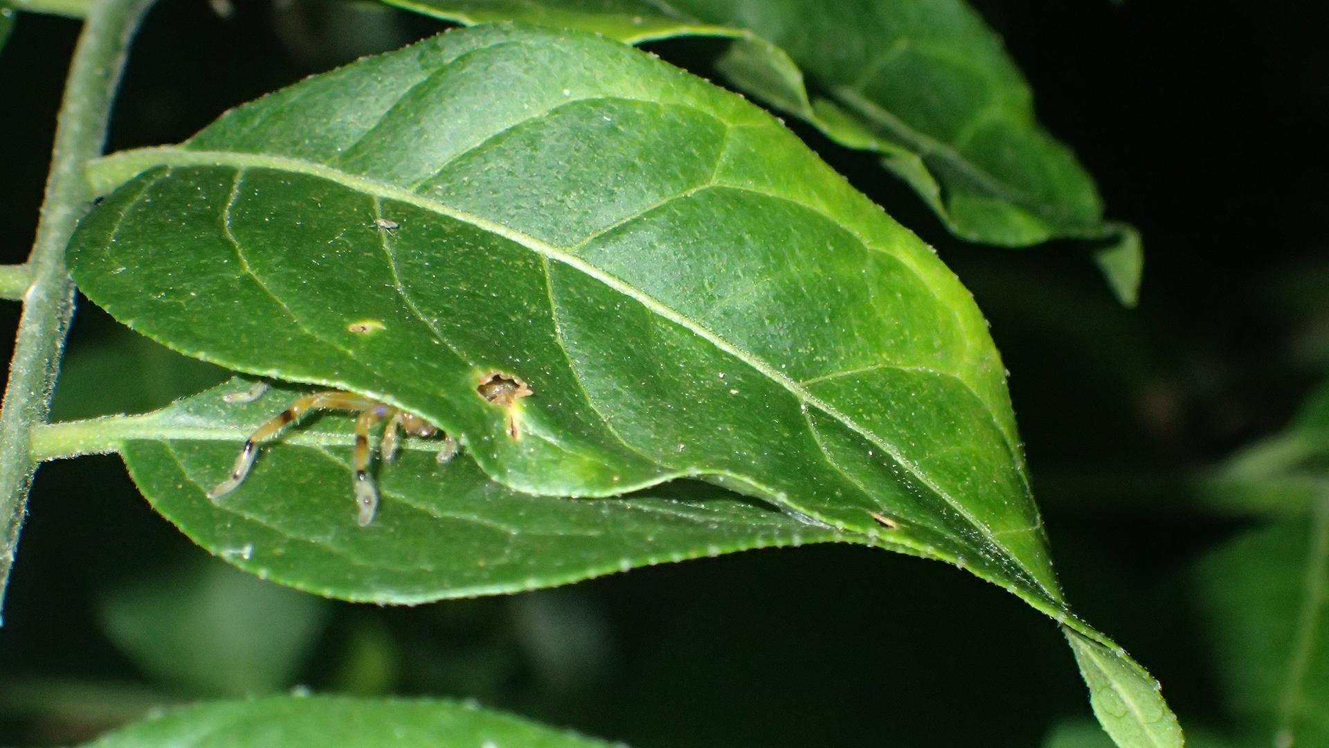 Les scientifiques ont trouvé plusieurs exemples d'araignées nichées dans des retraites faites de deux feuilles, leurs bords maintenus ensemble par de la soie.