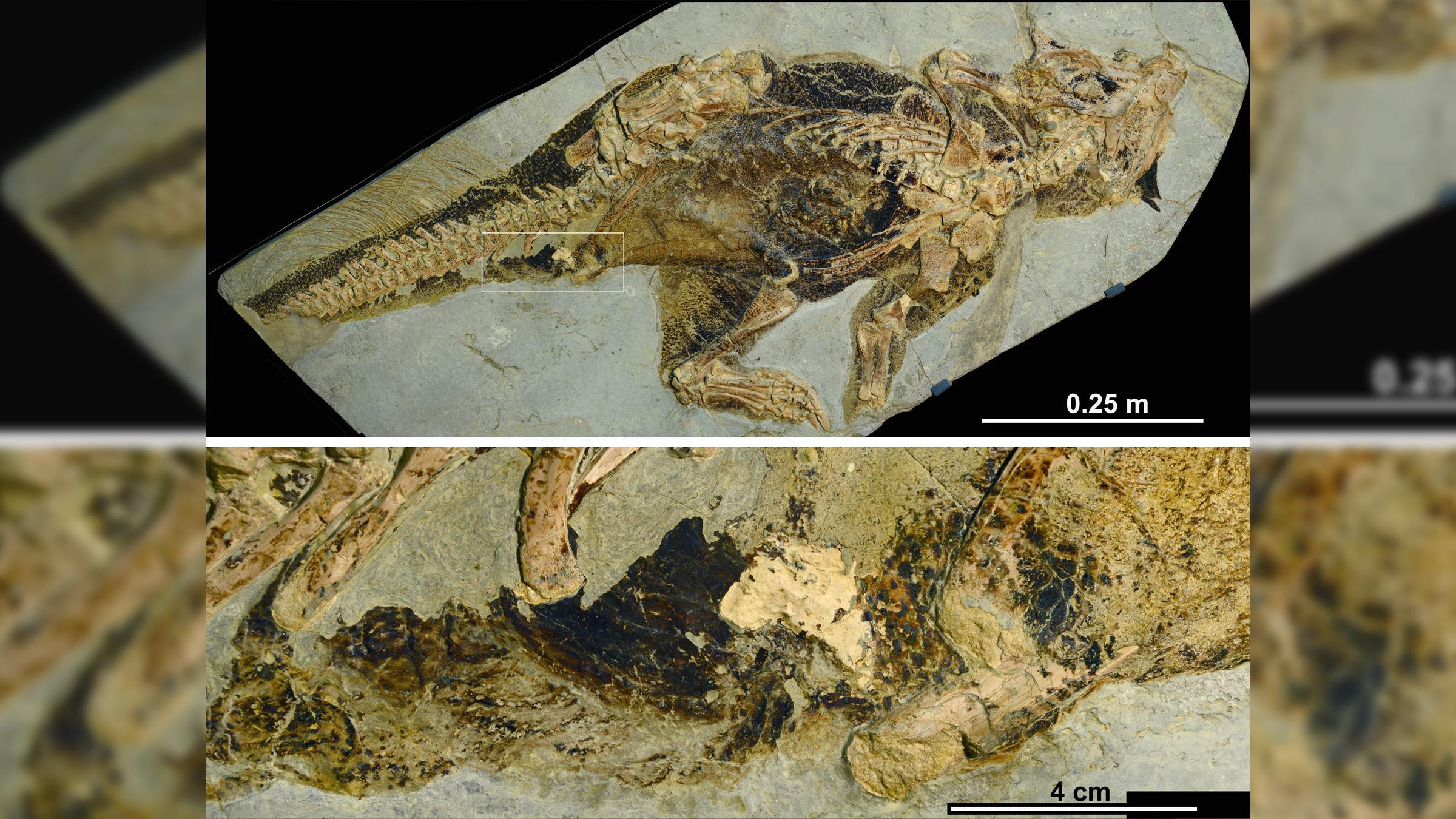 Un fossile de Psittacosaurus (en haut), conservé au Musée d'histoire naturelle de Senckenberg en Allemagne, a préservé la peau, la pigmentation et le premier et seul évent cloacal connu (en bas).