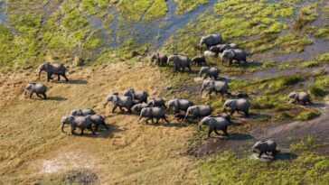 Les éléphants Comptés Depuis L'espace à L'aide De Satellites Et