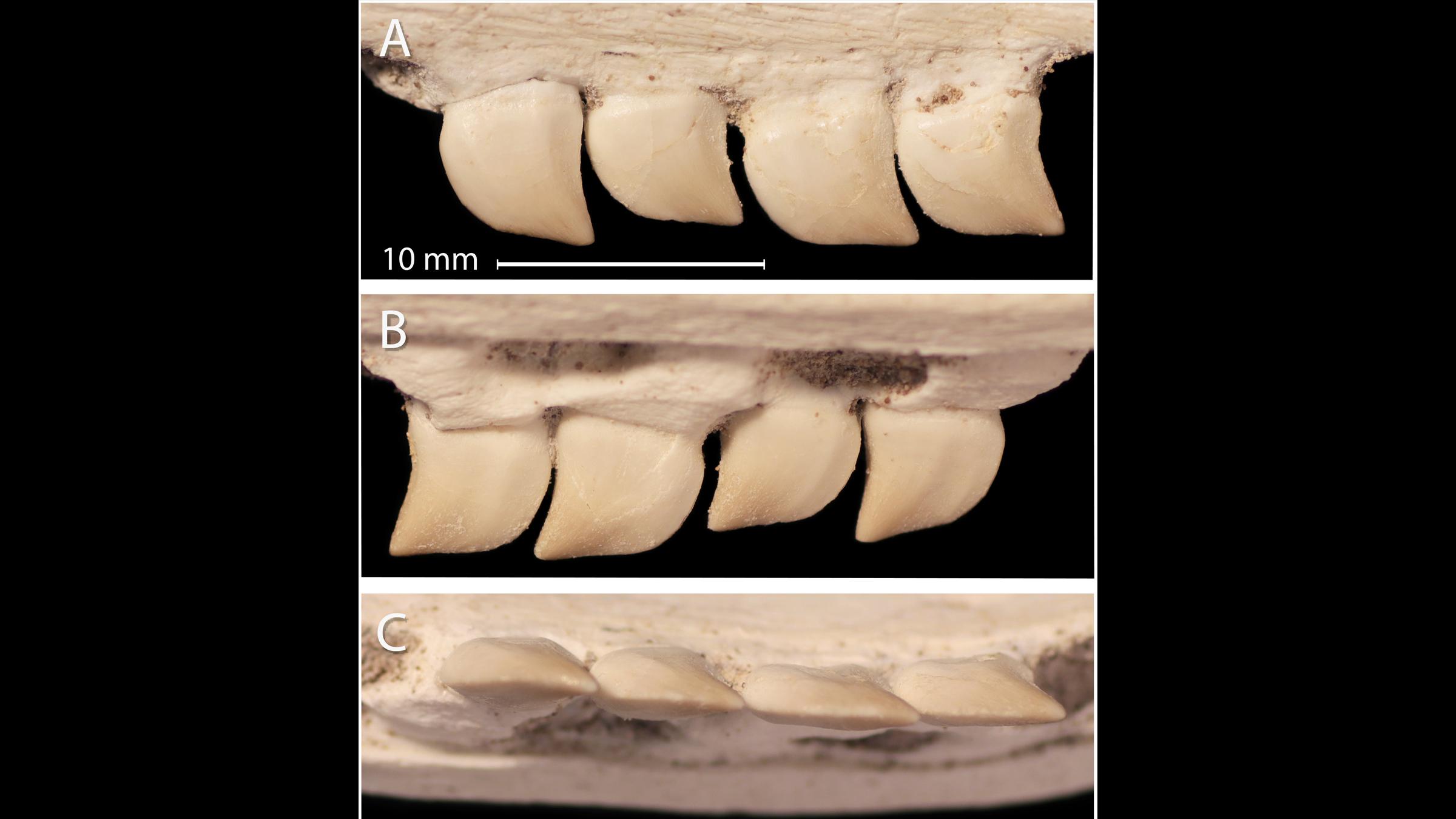 Une vue rapprochée des dents de Xenodens