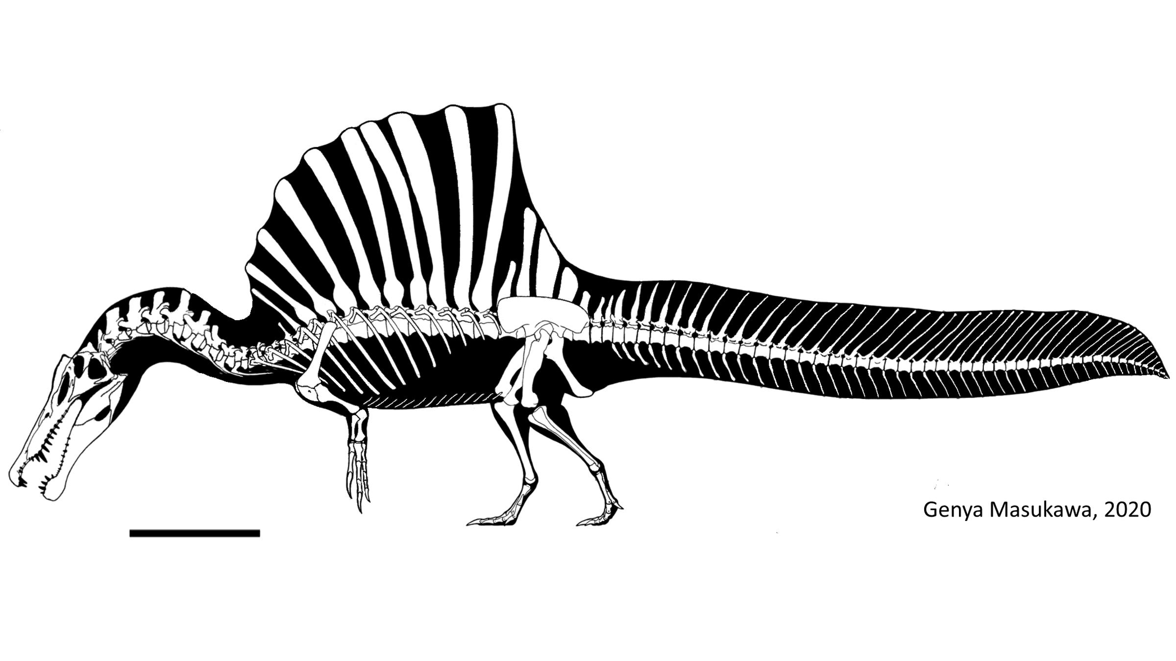 Le squelette du Spinosaurus, y compris sa célèbre voile arrière et son panache de queue.  La barre d'échelle est de 1 mètre (3,2 pieds).