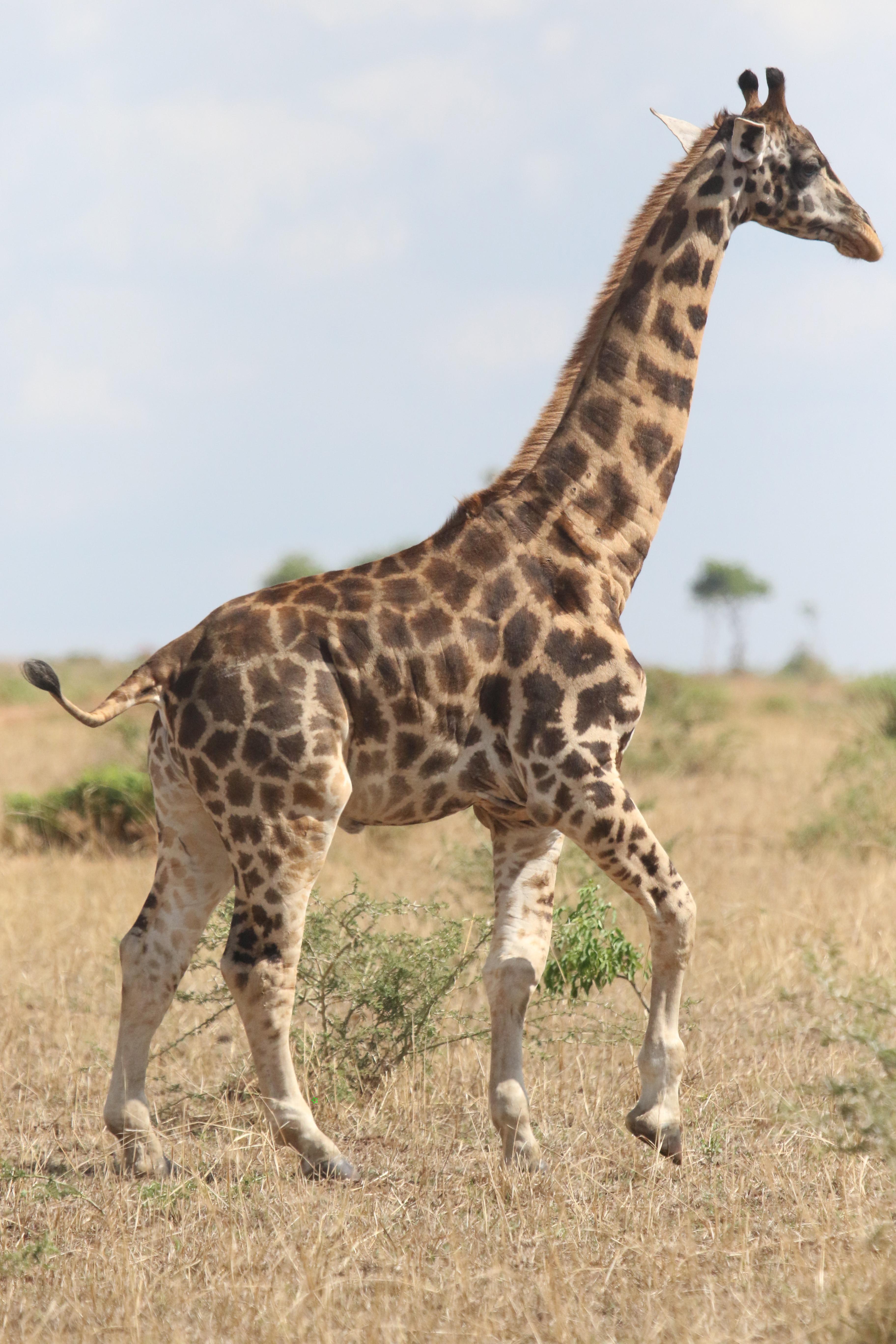 Une girafe naine en Ouganda.