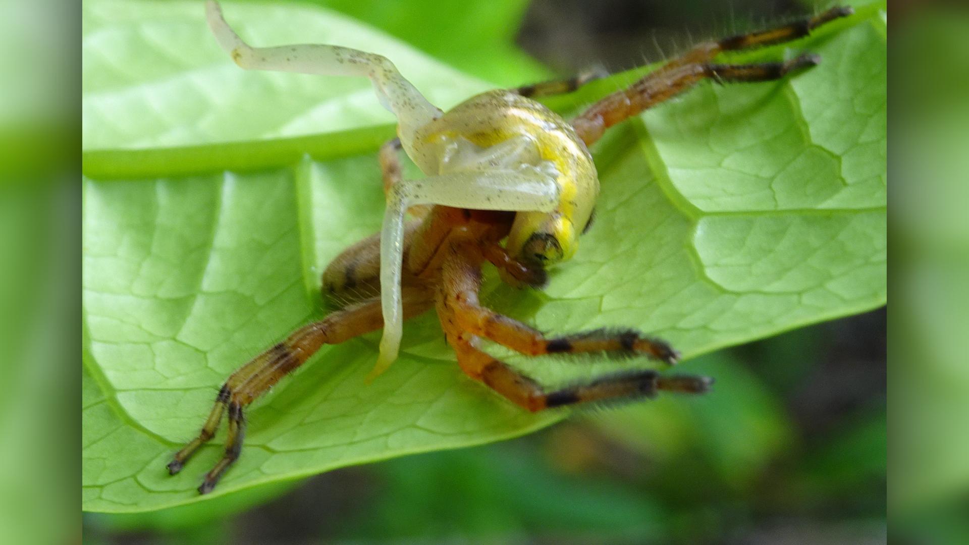 Événement de prédation où une araignée Damastes a capturé une grenouille arboricole Heterixalus andrakata.