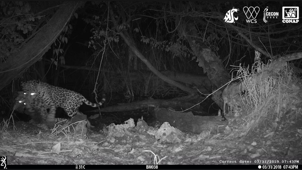 Jaguar Tue Un Autre Chat Prédateur Dans Des Images Jamais