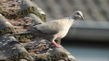 `` Joe The Pigeon '' Obtient Un Sursis Après La