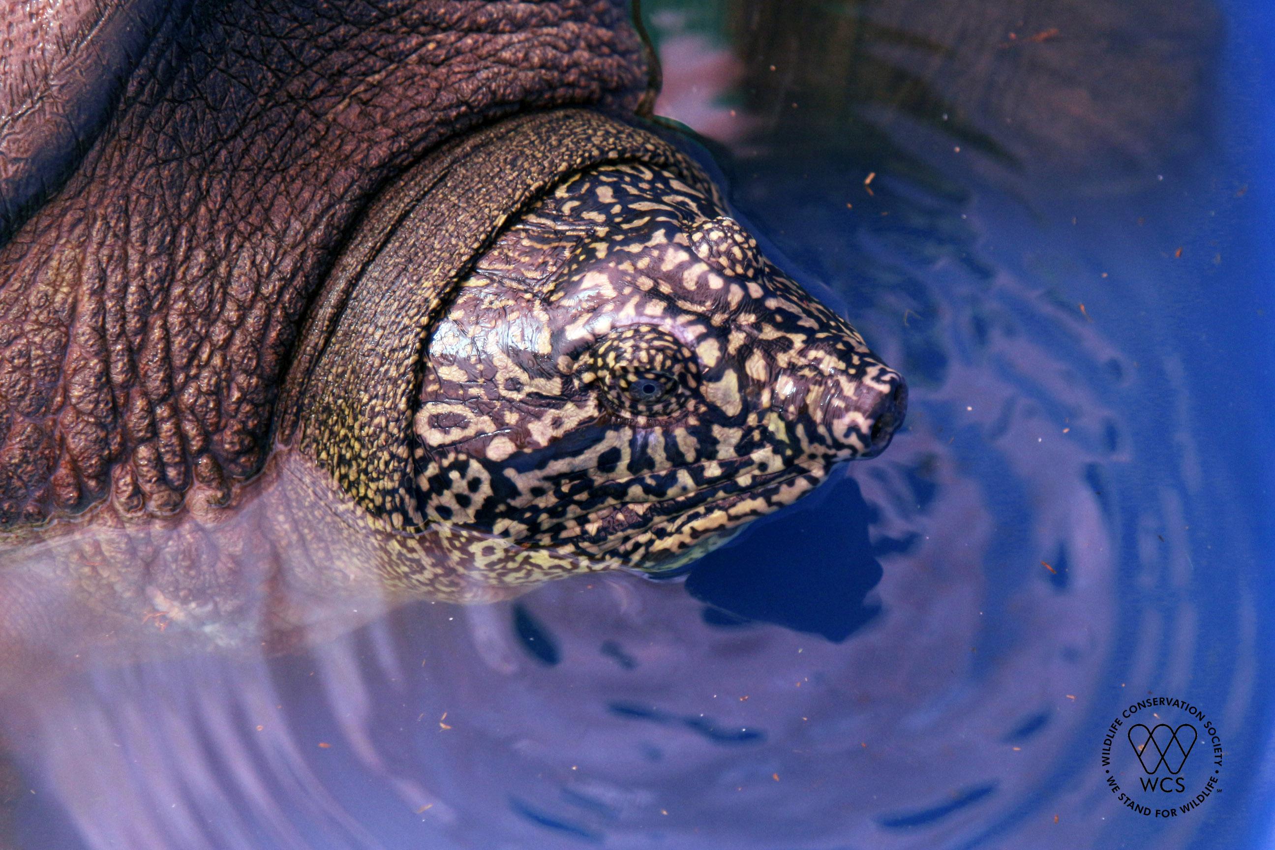 Ce gros plan de la tortue Rafetus swinhoei montre sa tête et sa peau à motifs.