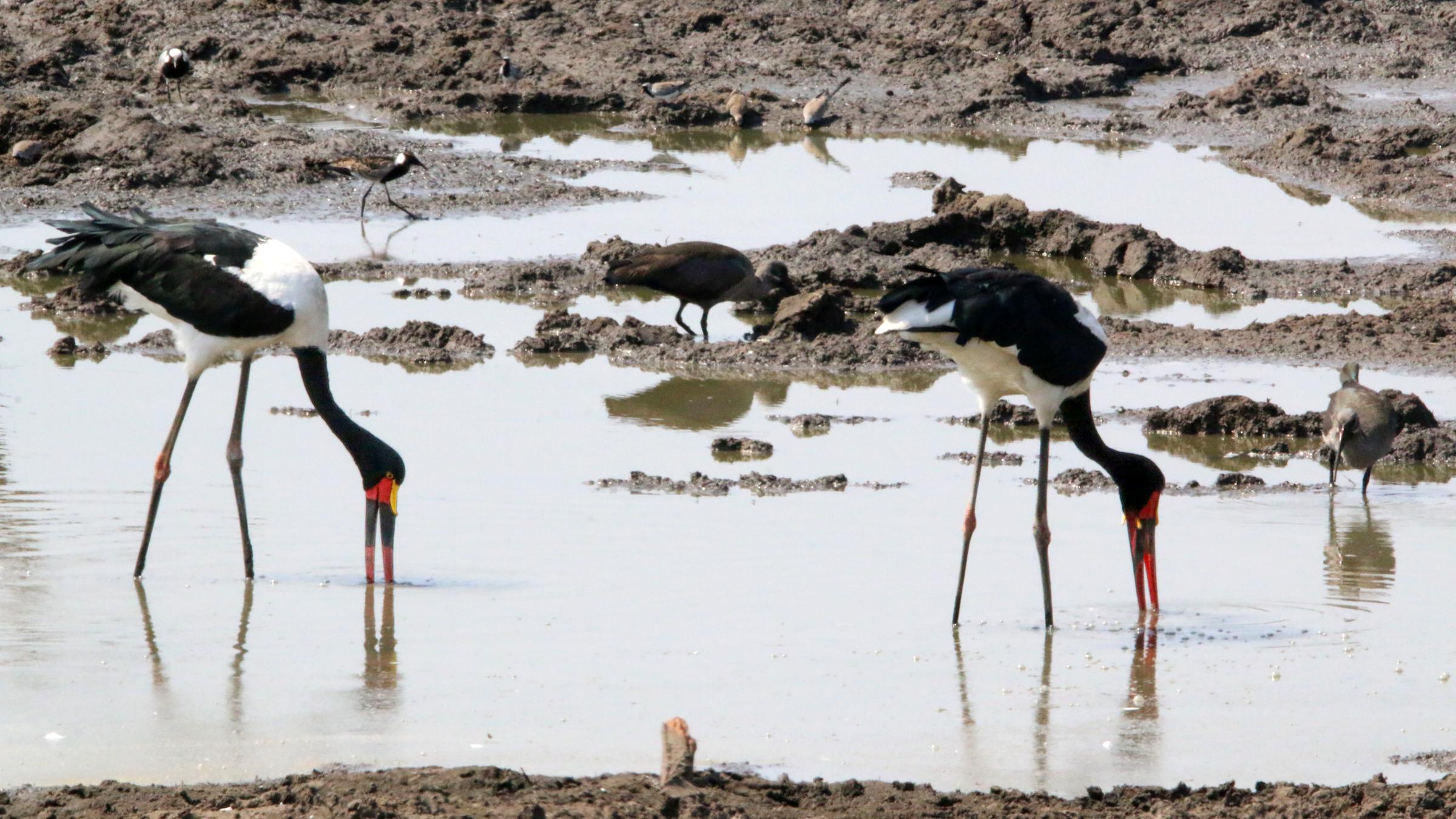 Les cigognes à bec de selle en Afrique se nourrissent avec leur bec en partie sous l'eau.  Peut-être que le Spinosaurus a chassé de la même manière.
