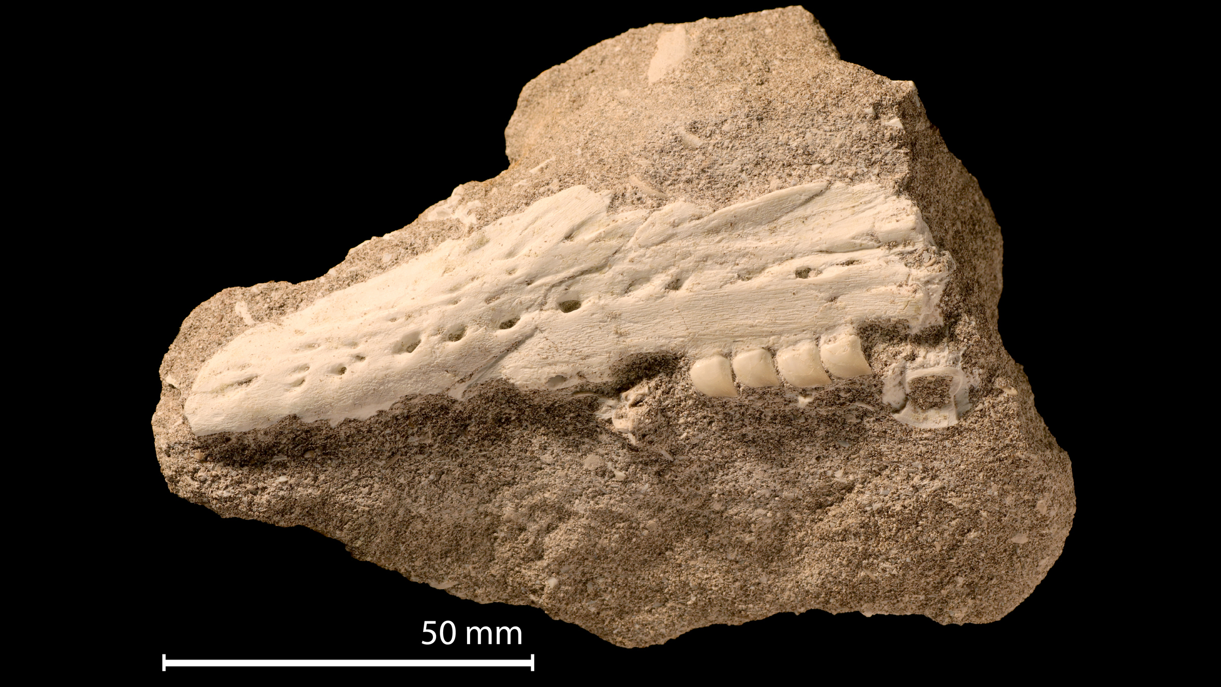 La mâchoire et les dents fossiles (avant préparation) de Xenodens calminechari