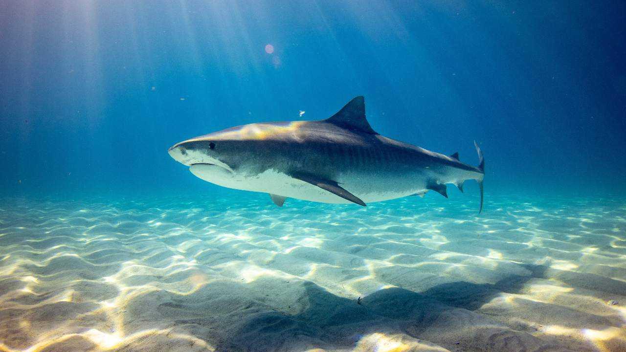 Le nombre de requins, les raies ont chuté de plus de 70% entre 1970-2018