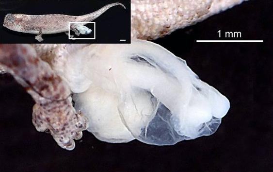 Les organes génitaux du caméléon mesurent environ 19% de la longueur de son corps lorsqu'ils sont complètement retournés.