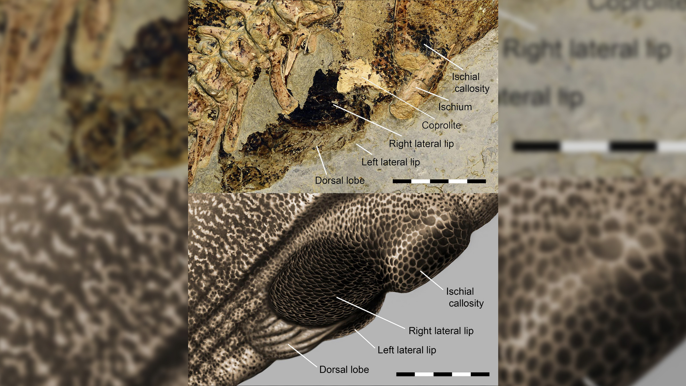 Un gros plan de l'évent cloacal préservé du Psittacosaurus (en haut) et une illustration de son apparence (en bas).