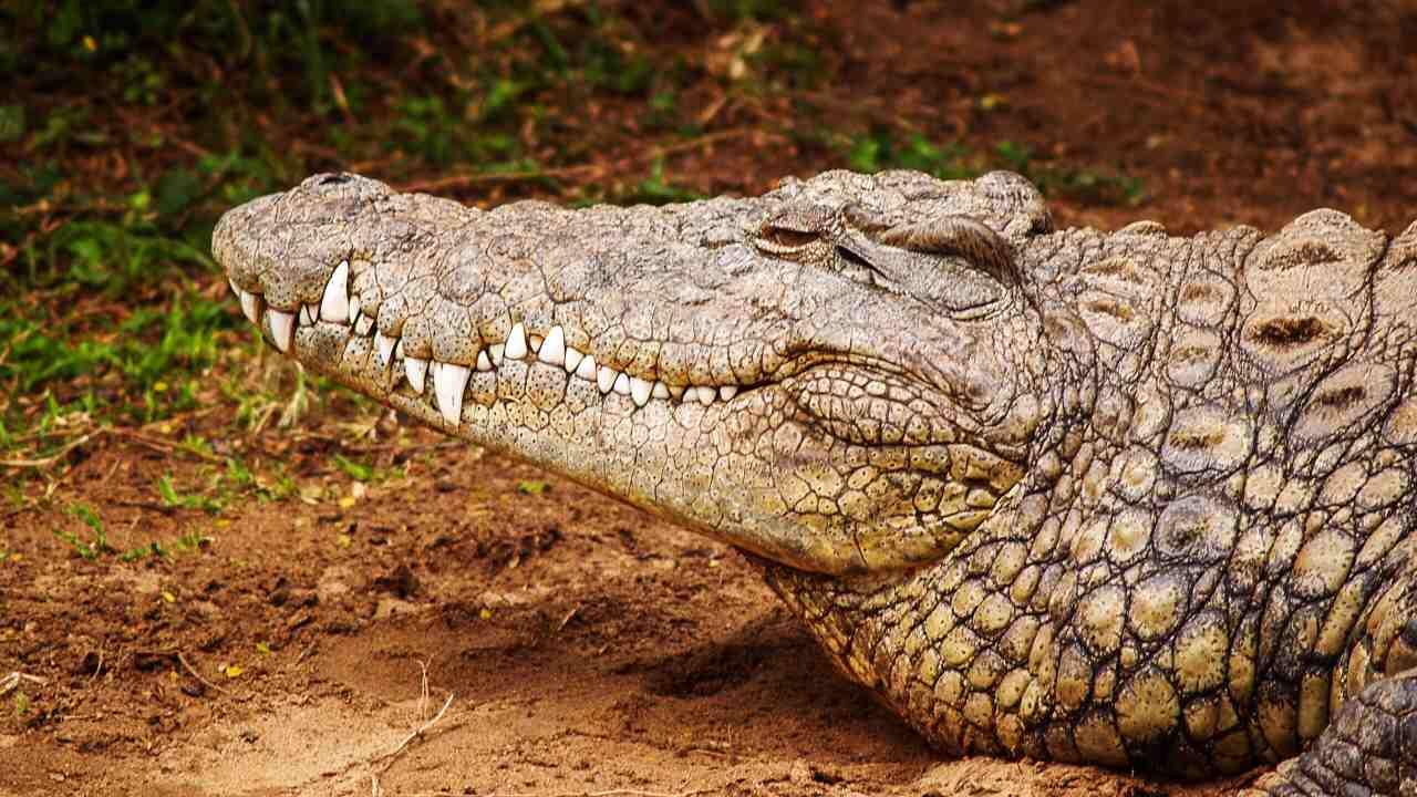 Les crocodiles sont restés en grande partie inchangés depuis les 200 derniers millions d'années