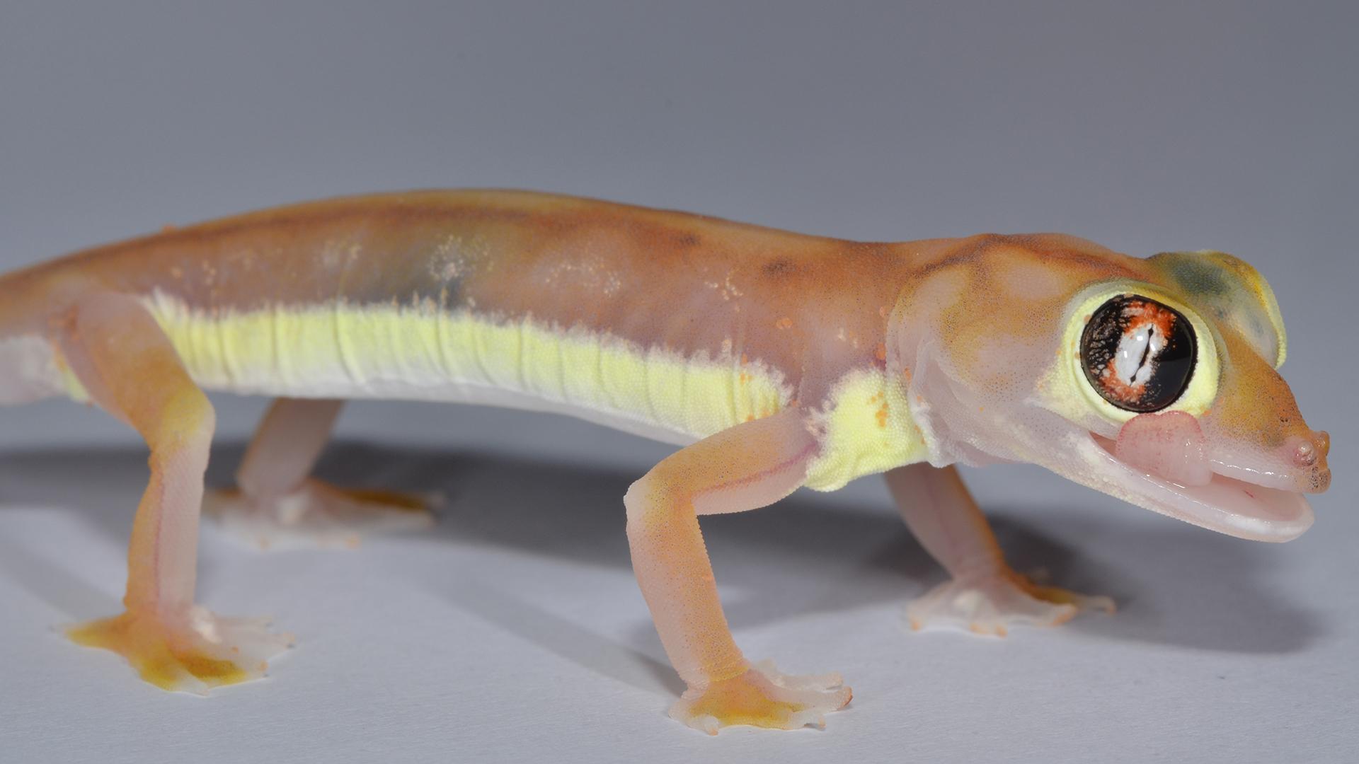 Les rayures jaunâtres sur les flancs du gecko sont visibles pour les autres geckos, mais cachées des prédateurs qui attaquent par le haut.