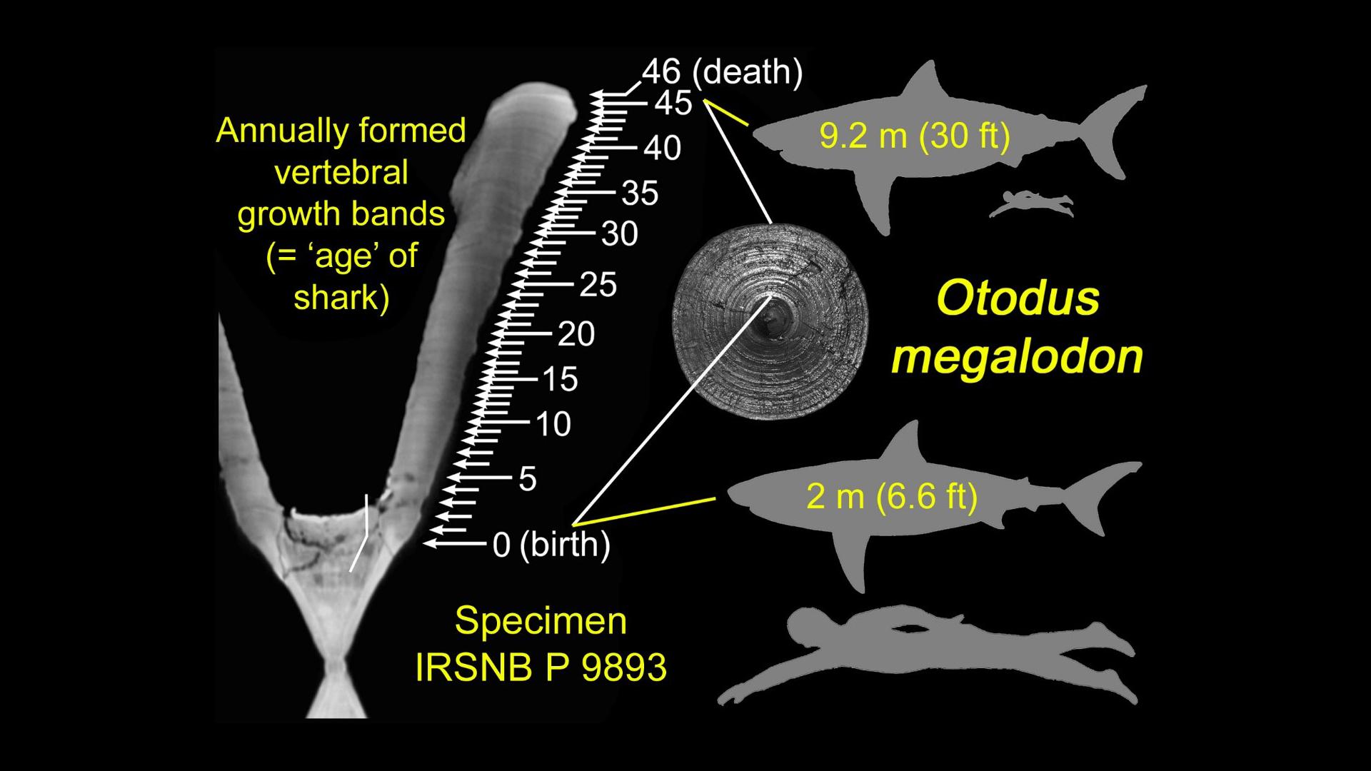 Des bandes de croissance annuelle identifiées dans une vertèbre du requin éteint Otodus megalodon, ainsi que des silhouettes hypothétiques du requin à la naissance et à la mort, chacune comparée à la taille d'un humain adulte typique.