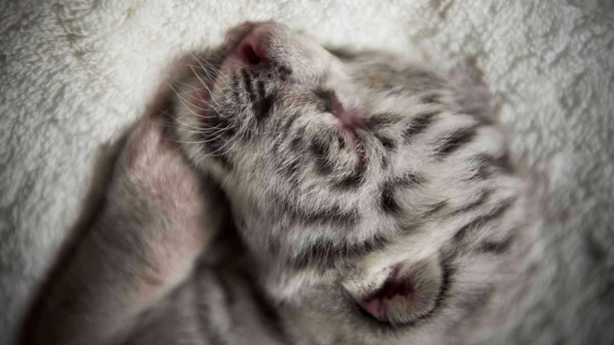 L'étrange Histoire Des Tigres Blancs