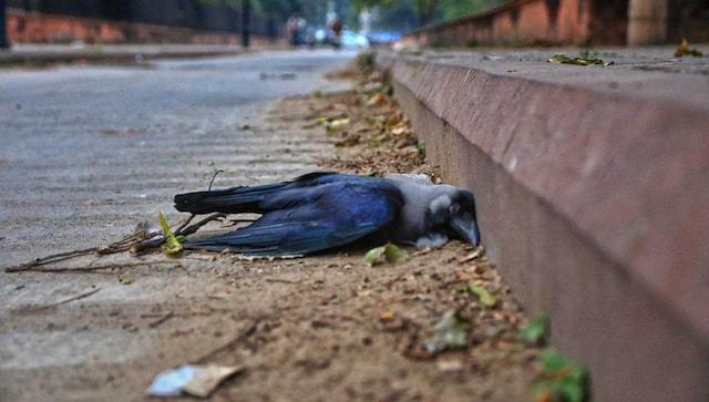 Peur de la grippe aviaire: près de 200 oiseaux, y compris des corbeaux et des pigeons trouvés morts à Dehradun, Rishikesh