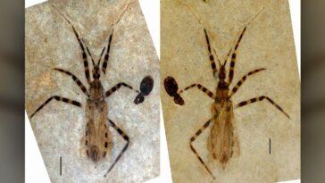 Un Pénis D'insecte Vieux De 50 Millions D'années Révèle De