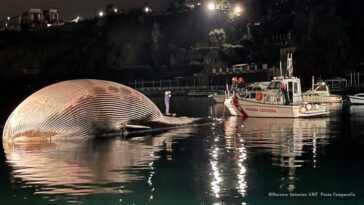 Une Baleine Morte En Méditerranée Probablement `` L'une Des Plus