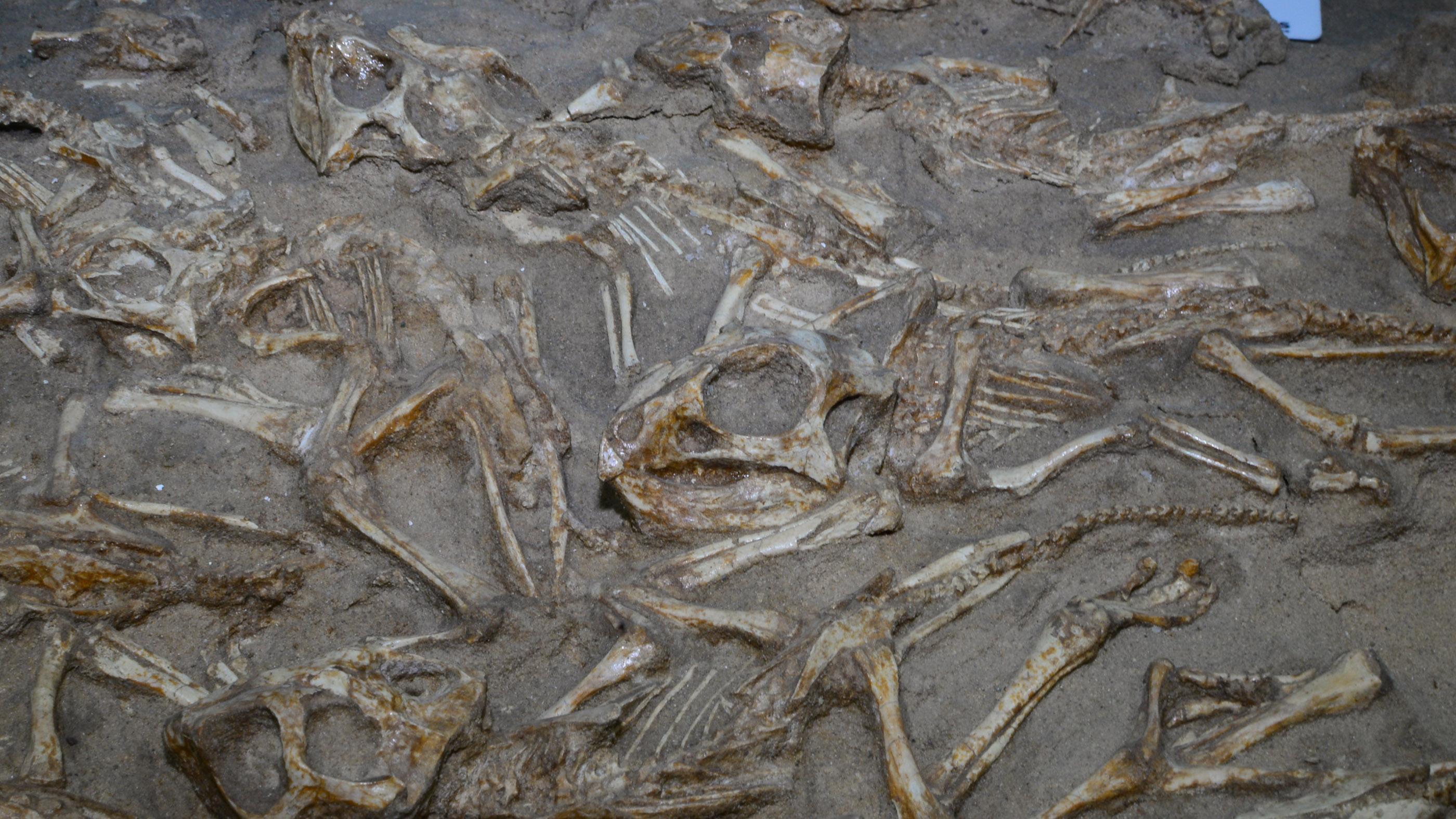 Les restes de dinosaures Protoceratops.