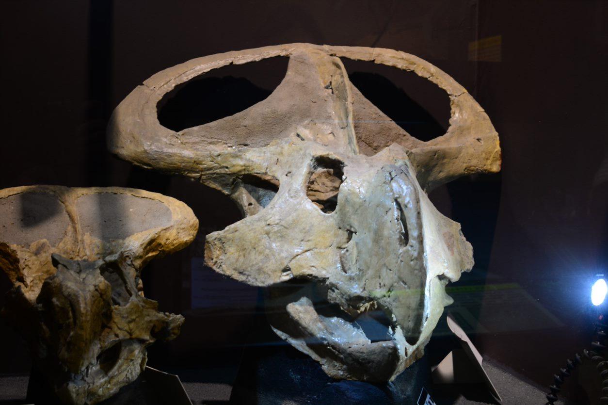 Un crâne de protoceratops avec son volant élaboré.