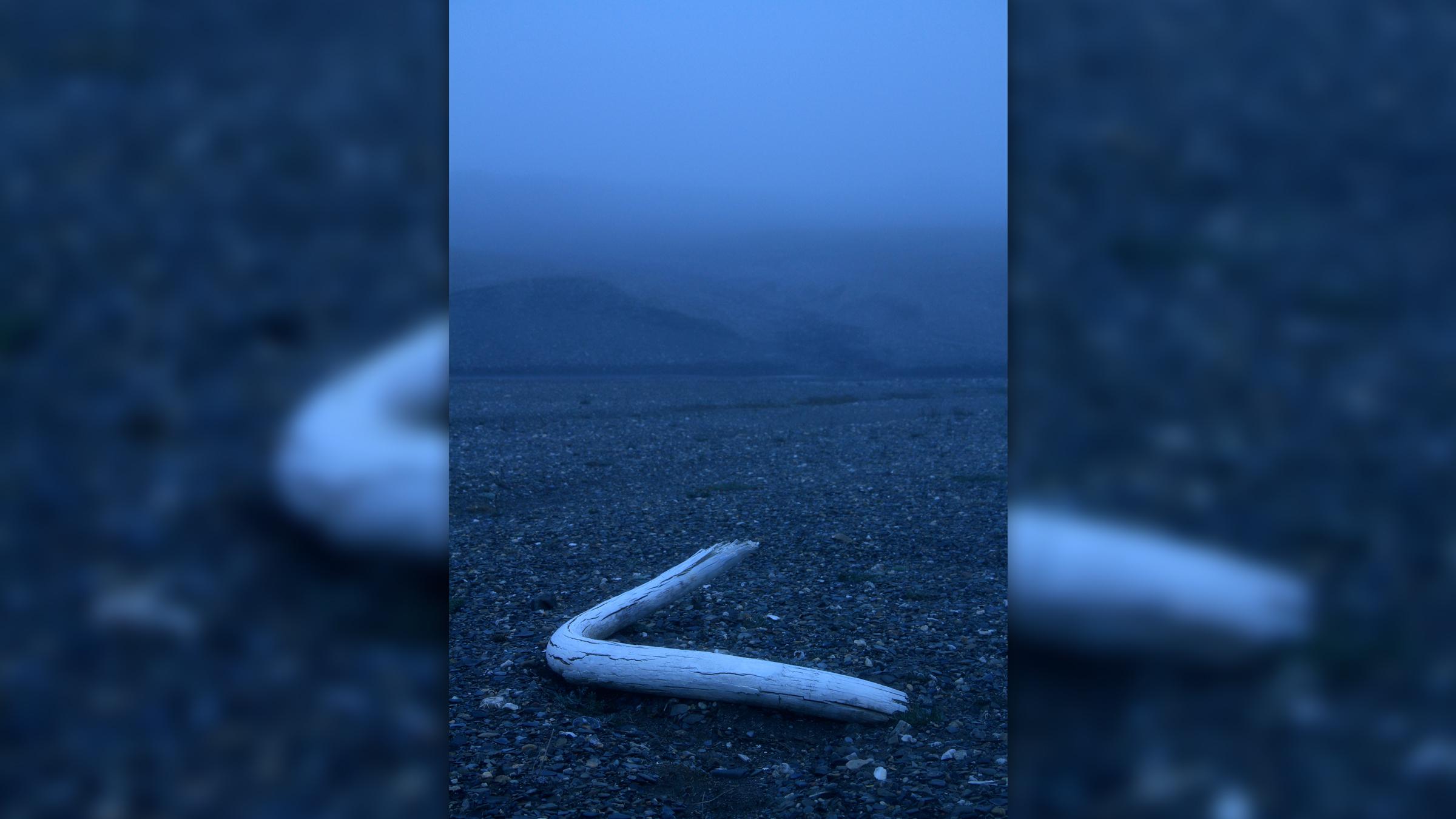 Une défense de mammouth laineuse découverte dans un lit de ruisseau sur l'île Wrangel en 2017