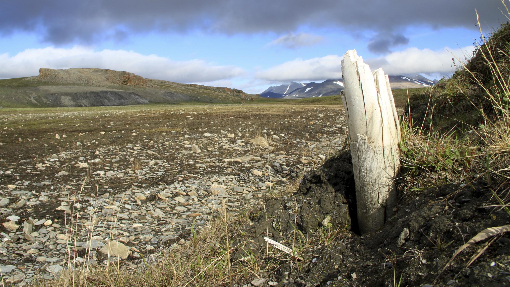 Une défense de mammouth laineuse émerge du pergélisol sur l'île Wrangel, dans le nord-est de la Sibérie.
