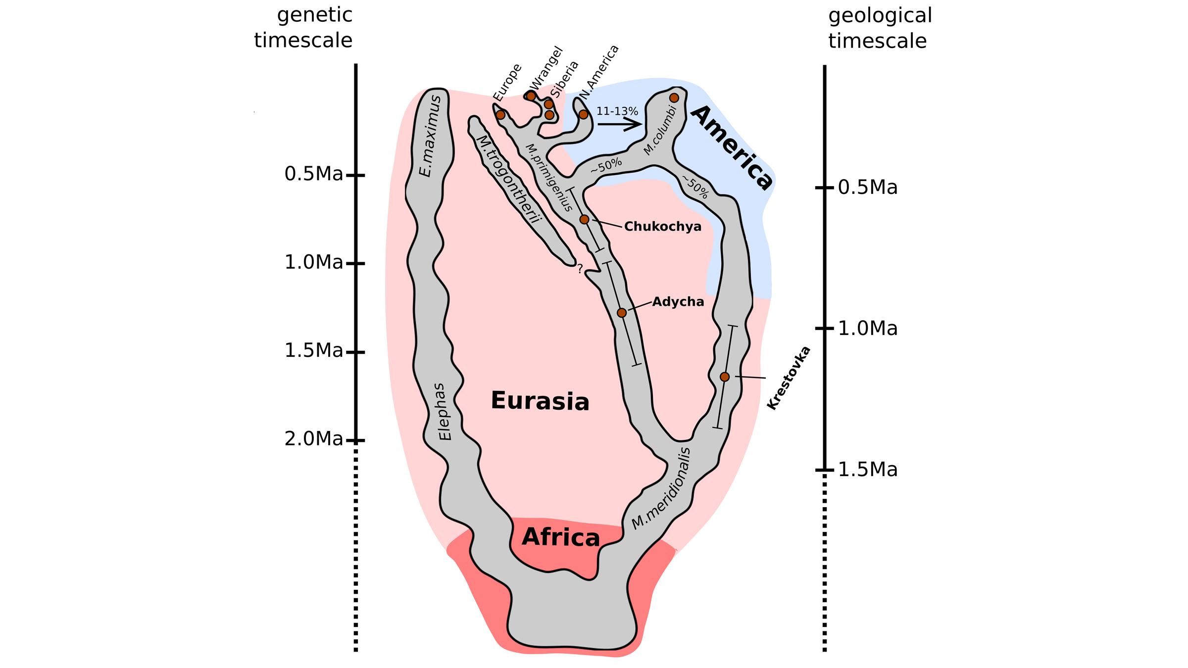 Cette figure montre une histoire évolutive probable de différentes lignées de mammouths.