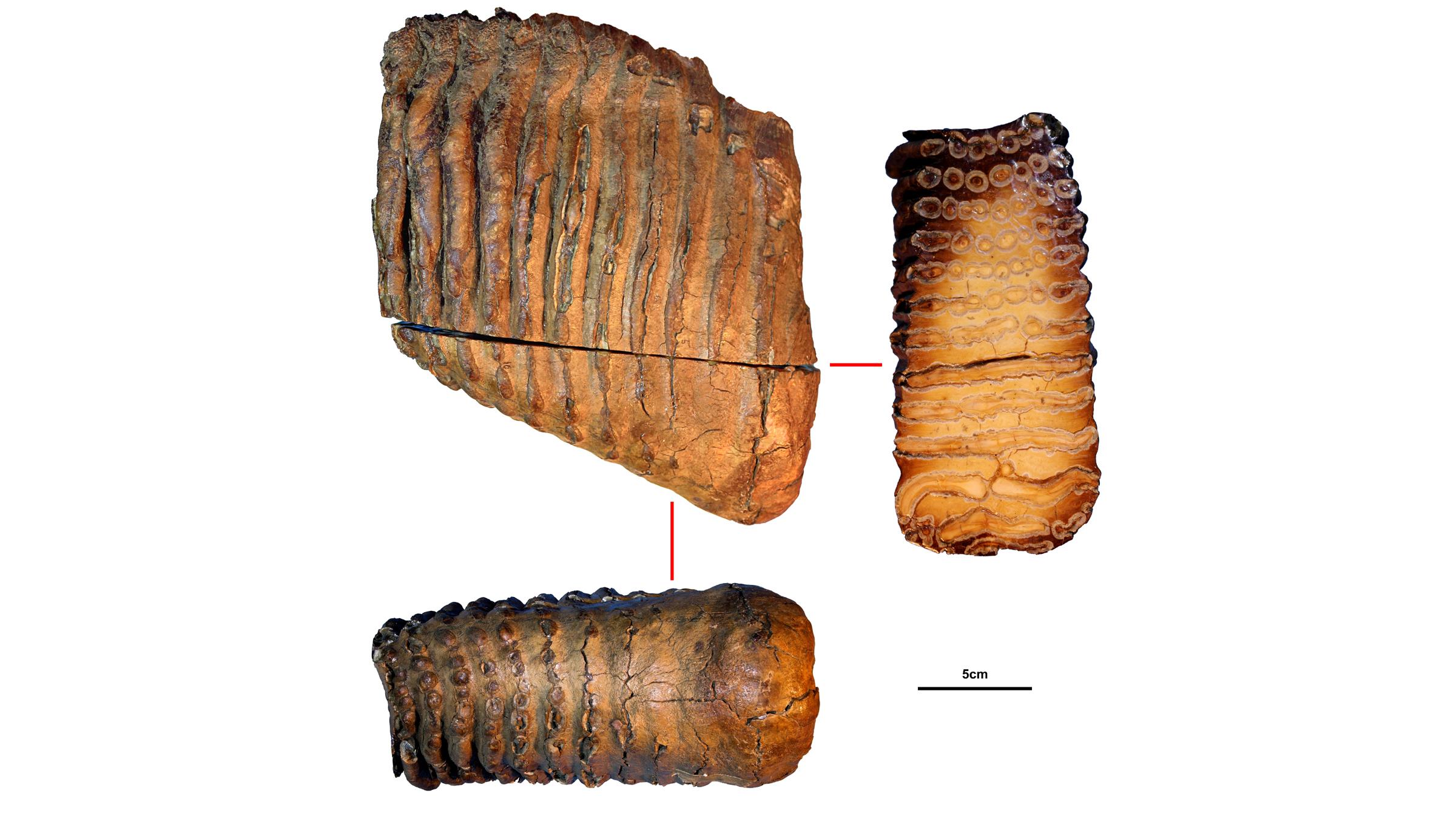 La molaire du mystérieux mammouth Krestovka, qui a vécu il y a environ 1,2 million d'années.