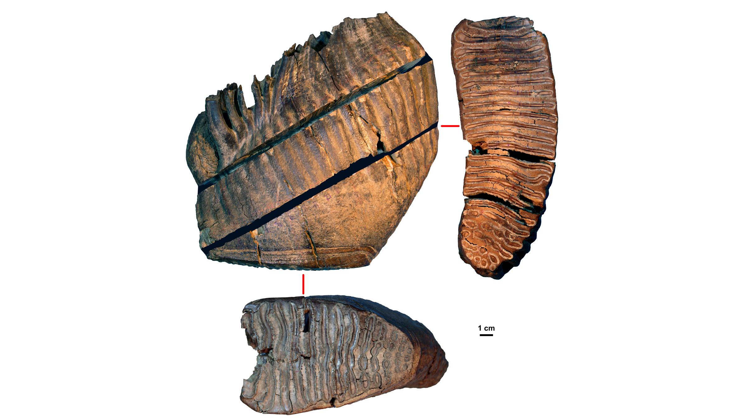 La molaire de la Tchoukochya âgée d'environ 700 000 ans.