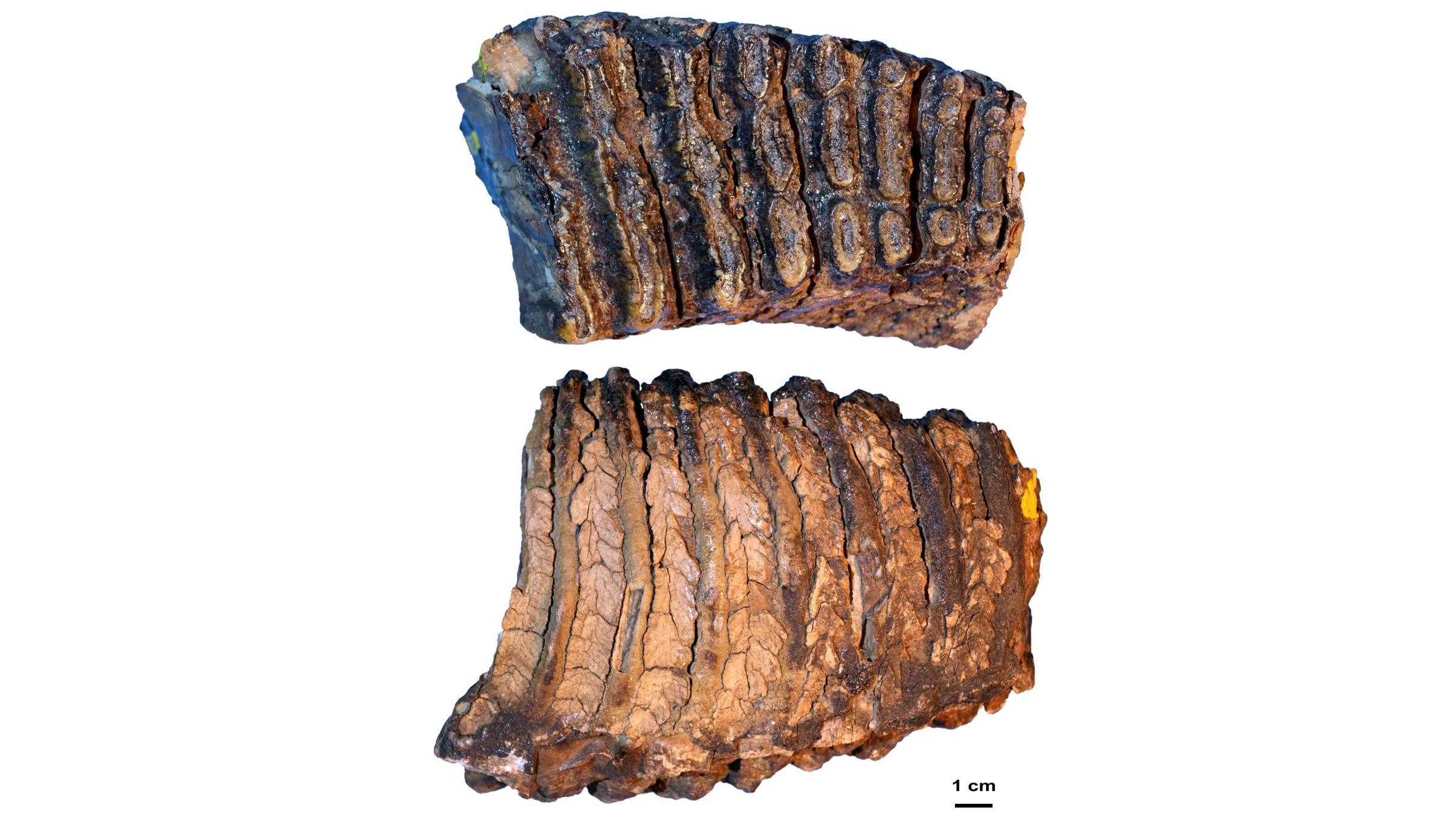La molaire du mammouth Adycha, qui a vécu il y a environ 1 million d'années.